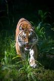 Tygrysi ` s atak zdjęcia royalty free