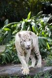 tygrysi strzeżenie biel Obraz Royalty Free
