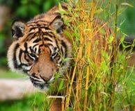 Tygrysi Sumatran Panthera Tygrys Sumatrae Zdjęcia Royalty Free