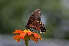Tygrysi Swallowtail obrazy stock