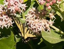 Tygrysi Swallowtail Motyli karmienie na nektarze od trojeść kwiatu Zdjęcia Royalty Free
