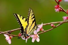 Tygrysi swallowtail na brzoskwini okwitnięciu Obrazy Royalty Free