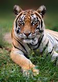 Tygrysi zakończenie gapi się w kamerę fotografia stock