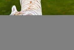 tygrysi zoo Zdjęcia Royalty Free