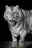 Tygrysi zwierzęcy przyroda myśliwy dziki Zdjęcia Royalty Free