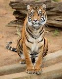 Tygrysia kobieta Fotografia Royalty Free