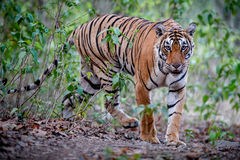 Tygrysia kobieta w pięknym świetle w natury siedlisku Ranthambhore park narodowy zdjęcie stock