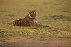 Tygrysia królowa Obraz Royalty Free