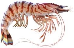 Tygrysia krewetka ilustracji
