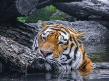 Tygrysia nacieranie twarz na drzewie zdjęcie stock