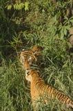Tygrysia para w dżungli Zdjęcie Royalty Free