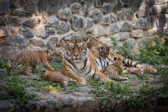 Tygrysia rodzina Fotografia Royalty Free