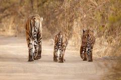 Tygrysia rodzina w pięknym świetle w natury siedlisku Ranthambhore park narodowy obraz stock