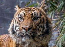 Tygrysia twarz Obrazy Royalty Free
