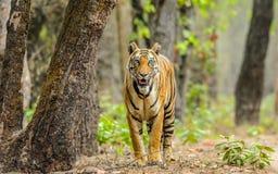 Tygrysica i drzewo Fotografia Royalty Free