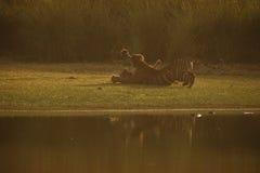 Tygrysich lisiątek pierwszy agresja Obrazy Royalty Free