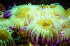 Tygrysiego Anemonowego Nemanthus annamensis zadziwiające kolorowe denne istoty podwodne Nieprawdopodobny naturalny tło Zdjęcie Stock
