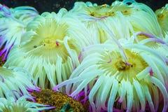 Tygrysiego Anemonowego Nemanthus annamensis zadziwiające kolorowe denne istoty podwodne Nieprawdopodobny naturalny tło Obrazy Stock