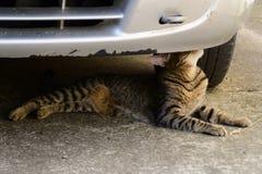 Tygrysiego kota lying on the beach pod samochodem i obwąchuje one Zdjęcie Royalty Free