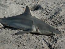 Tygrysiego rekinu zakończenie Up Zdjęcie Stock