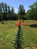 Tygrysiej lelui roślina zdjęcia royalty free
