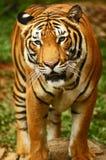 tygrysy Obrazy Stock