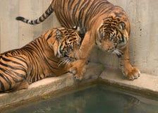 tygrysy Zdjęcie Stock