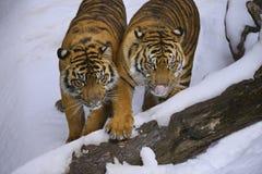 Tygrysy zdjęcie royalty free