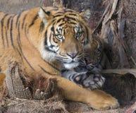 tygrysy Obraz Stock