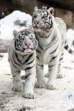 tygrysy biały Zdjęcie Stock