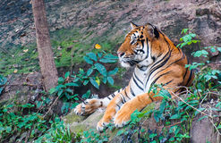 Tygrysy patrzeje daleko od obraz royalty free