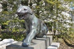 Tygrysy przy uniwersytet princeton Obrazy Royalty Free