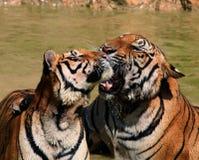 Tygrysy, Tajlandia Obraz Stock