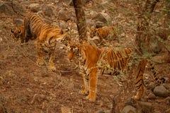 Tygrysy w natury siedlisku Cała tygrys rodzina zawiera ojca Duża samiec Obrazy Stock