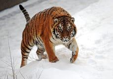 Tygrysy w zima Obraz Stock