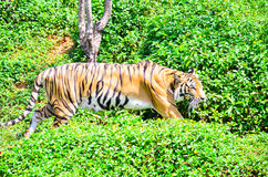 Tygrysy w zoo Zdjęcie Stock