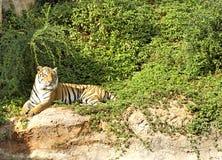 Tygrysy w zoo i naturze Obrazy Stock
