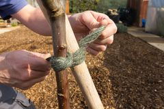 Tying a fruit tree to a supporting stake