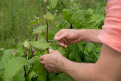 Tying vine branches Stock Photography