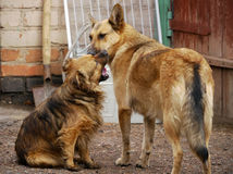 Tykes. Two domestic dogs play in the yard near the house with ea. Ch other Royalty Free Stock Photos