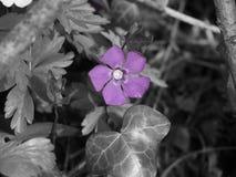 Tylko fiołkowy kwiat na popielatym Obrazy Stock
