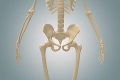 tylna kość i biodro Obrazy Royalty Free