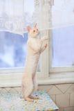 tylne nogi się kot Obrazy Royalty Free
