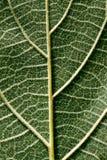 tylnego liść paulownia dojrzewająca strona Fotografia Stock