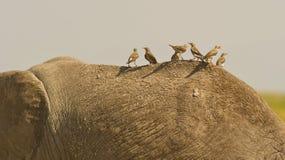 tylnego słonia bezpłatna przejażdżka s Zdjęcia Stock