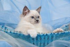 tylnej koszykowej błękitny ślicznej figlarki łgarski ragdoll fotografia royalty free
