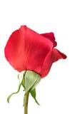 tylnej kwiatu czerwieni różana wiosna Fotografia Stock