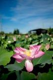 tylnej kwiatu zieleni zmielony lotosowy ładny Obraz Royalty Free
