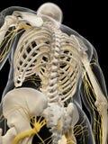 Tylni nerwy ilustracja wektor