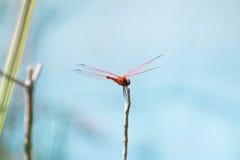 Tylni Różowy Dragonfly Obraz Stock
